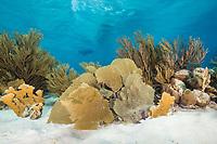 Common Sea Fan, Gorgonia ventalina, and Black Sea Rod, Plexaura homomalla, in the shallow water of Bonaire, Netherland Antilles, Netherlands, Caribbean Sea, Atlantic Ocean