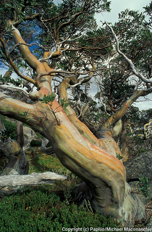 Snow Gum Tree, Eucalyptus pauciflora, Australia, Kosciusko National Park, New South Wales, NSW