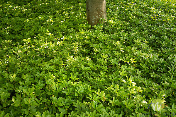Harkness Memorial State Park. Pachysandra.