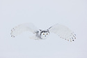 Snowy owl in winter flying during white-out conditions in winter, Canada