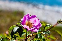 Sweden, Gotska Sandön national park. Roses at Hamnudden.