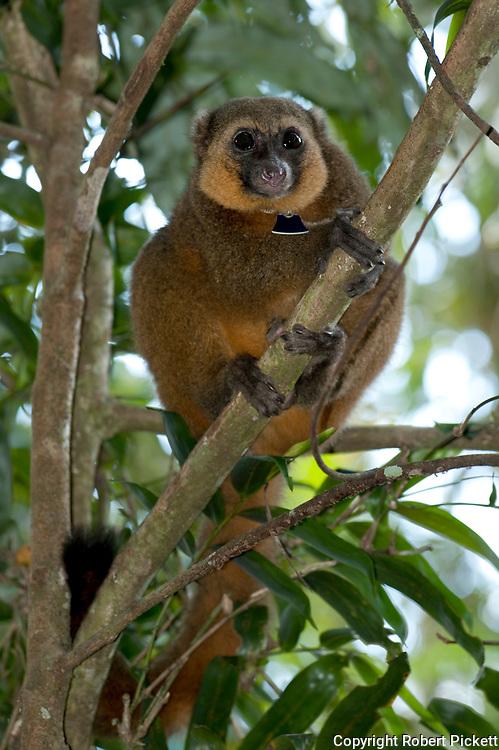 Golden Bamboo Lemur, Hapalemur aureus, Ranomafana National Park, Madagascar, wearing identification scientific collar, one of the world's most endangered mammals, Endangered IUCN Red List and Appendix I of CITES