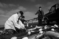The five-pound Sockeye Salmon are pulled from the net and thrown into a tailgate full of ice and water for transport to the cannery.