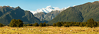 Morning on farm with sheep at Fox Glacier, Westland Tai Poutini National Park, West Coast, New Zealand, NZ
