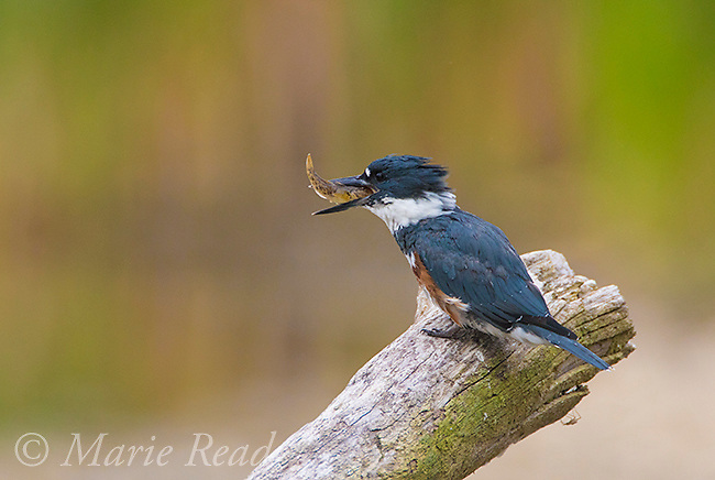 Belted Kingfisher (Ceryle alcyon) female with a fish (Round Goby, ), Lansing, New York, USA