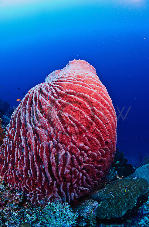East Indonesia, Raja Ampat,  barrel sponge  A large, brown sponge, Xestospongia testudinaria, from the waters of Australia and the Indian Ocean