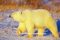 01874-07417 Polar Bear (Ursus maritimus) walking Churchill  MB