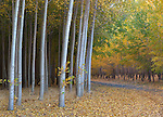 Morrow County, OR<br /> Road througth a hybrid poplar forest understory in fall color, commercial tree farm