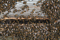 At the end of a hot day, bees cluster to regulate the temperature inside the hive.