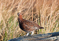 Red Grouse cock,  (Lagopus lagopus scotica), Catlow Fell, Forest of Bowland, Lancashire.