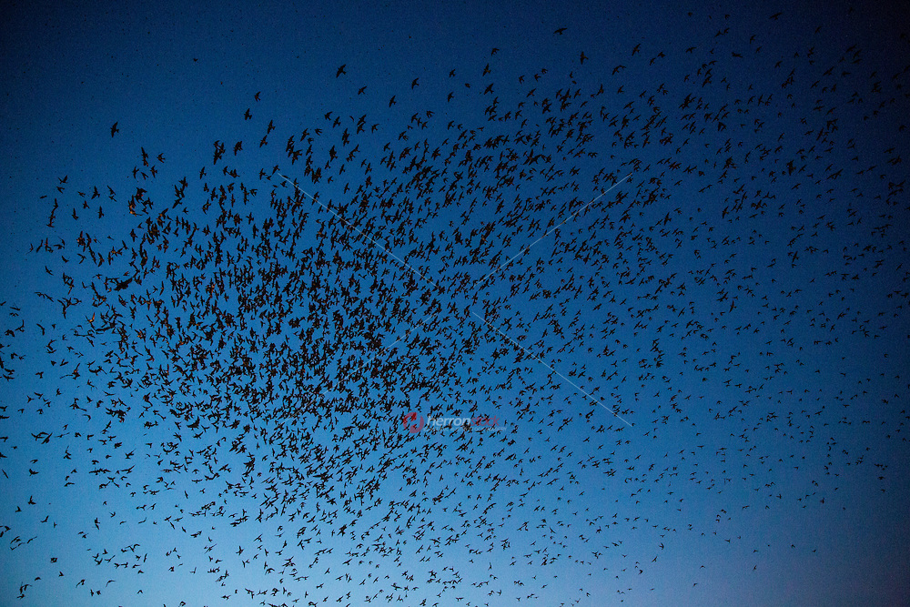 A flock of 100,000 Purple Martins come together and roost in the three live oak trees at Highland Mall.