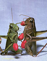 GF15-001z  Funny Grasshopper - boxing