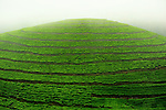 Tea plantations carpet the mountainous countryside, Northwest Rwanda....