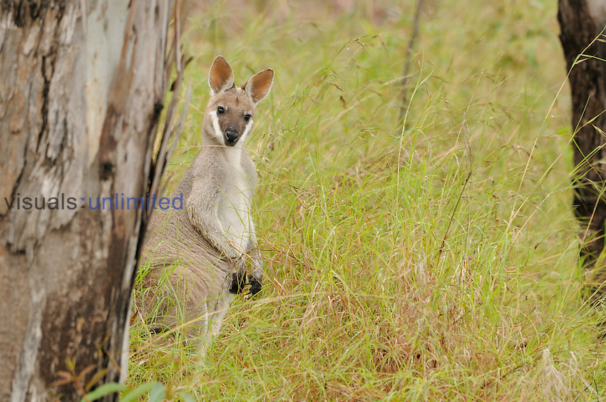 Whiptail Wallaby or Pretty-faced Wallaby (Macropus parryi), Queensland, Australia