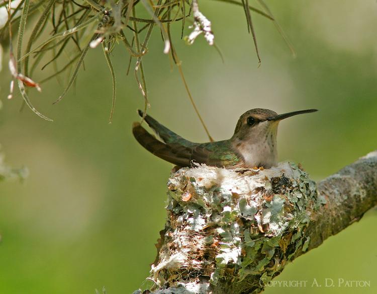 Female black-chinned hummingbird on nest