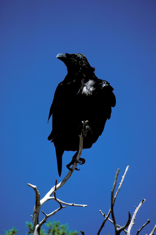 FL: Florida Everglades National Park,.raven, bird.Photo Copyright: Lee Foster, lee@fostertravel.com, www.fostertravel.com, (510) 549-2202.Image: flever249