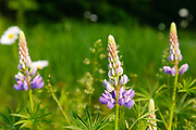 Lupine along the Kancamagus Highway (route 112), which is one of New England's scenic byways in the White Mountains, New Hampshire USA