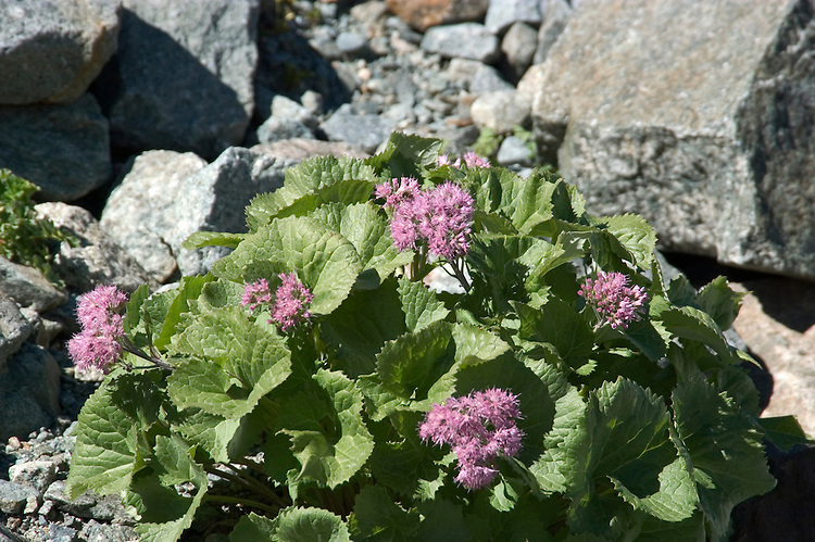 Switzlerland: Hiking the Swiss Glaciers near St. Moritz, taking the Diavolezza Morteratsch hike..Alpine Flora on Pers Glacier..Photo copyright Lee Foster, 510/549-2202, lee@fostertravel.com, www.fostertravel.com..Photo #: swisse11700