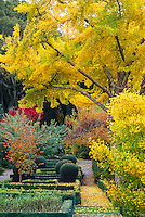 Ginkgo biloba (Maidenhair Tree) in fall color.