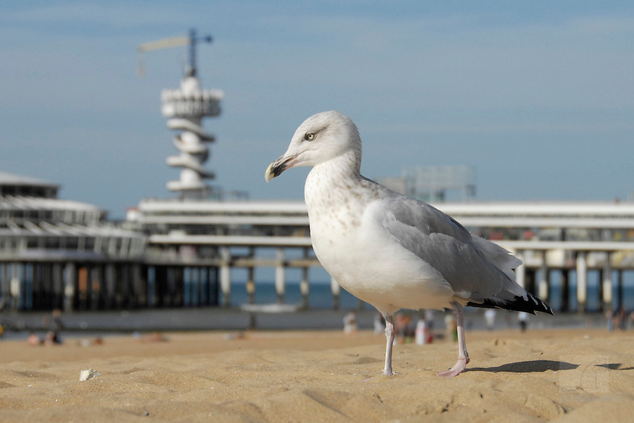 this gull loves Scheveningen
