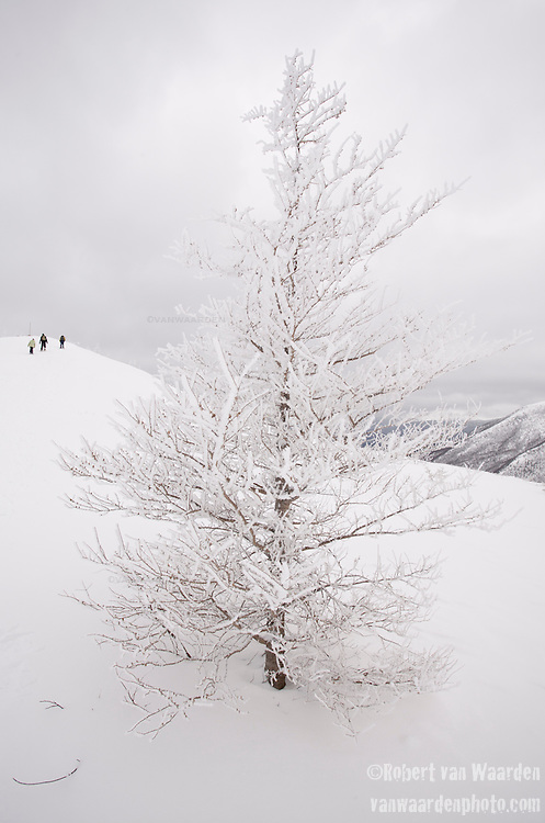 A snow covered pine tree under a cloudy sky in the Chic Choc Mountains of the Gaspe, Quebec, Canada. In the background, three figures snowshoe up the mountain.
