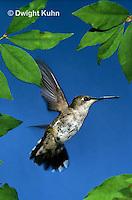 HU11-022x  Ruby-throated Hummingbird - female flying -  Archilochus colubris