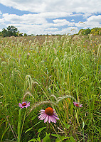 A Purple Prarie Coneflower shows off in front a grass seed heads at the Jubliee College State Park prairie, in Peoria County, Illinois