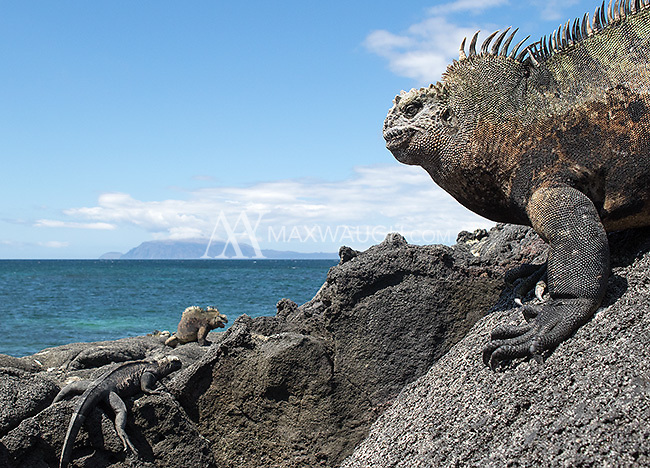Marine iguanas are one of the iconic species of the Galapagos Islands.  Some of the largest marine iguanas are found on Isabela and Fernandina Islands.