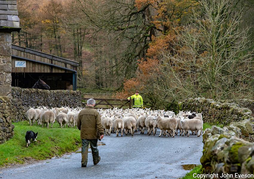 Moving sheep near Dunsop Bridge, Clitheroe, Lancashire.