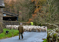 Moving sheep near Dunsop Bridge, Clitheroe, Lancashire.