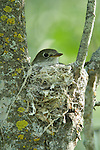 Ruby-crowned kinglet (Regulus calendula) sitting her nest of eggs