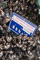 Europe/France/Bretagne/56/Morbihan/ Belle-Ile-en-Mer/Le Palais: Pouce-pied sur le marché