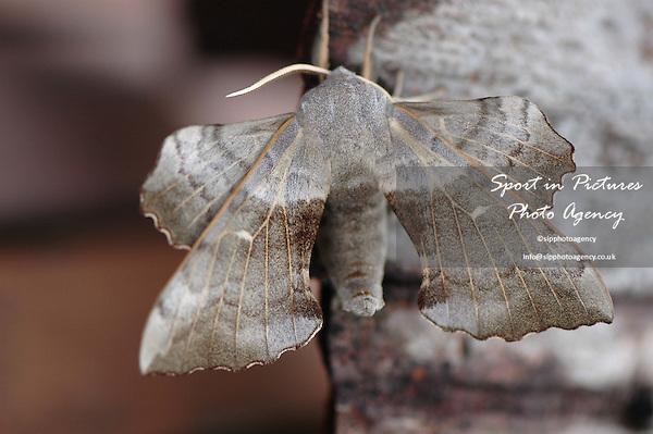 A Poplar Hawk Moth, Laothoe populi