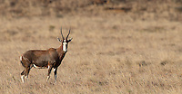 The blesbok is an endemic species found in South Africa.