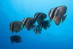 Russell Islands, Solomon Islands; a school of longfin spadefish swimming in formation in blue water