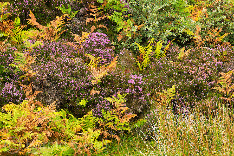 The legendary purple Scottish heather is a prominent short growing plant on the Scottish hillsides. Also common are green and brown ferns and grasses.  Walking on these soils, one discovers how very soft the peat is.