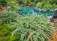 Vashon-Maury Island, WA: Variegated barberry at the edge of a salt water plunge pool surrounded by woodland perennial garden.