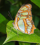 Checkered type butterfly.