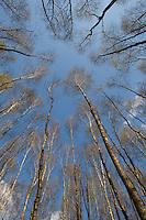 Birkenwald, Birken - Wald, Birke, im Frühjahr, Betula