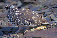 White-tailed Ptarmigan in breeding plumage