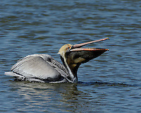 Brown Pelican, Port Aransas, Texas