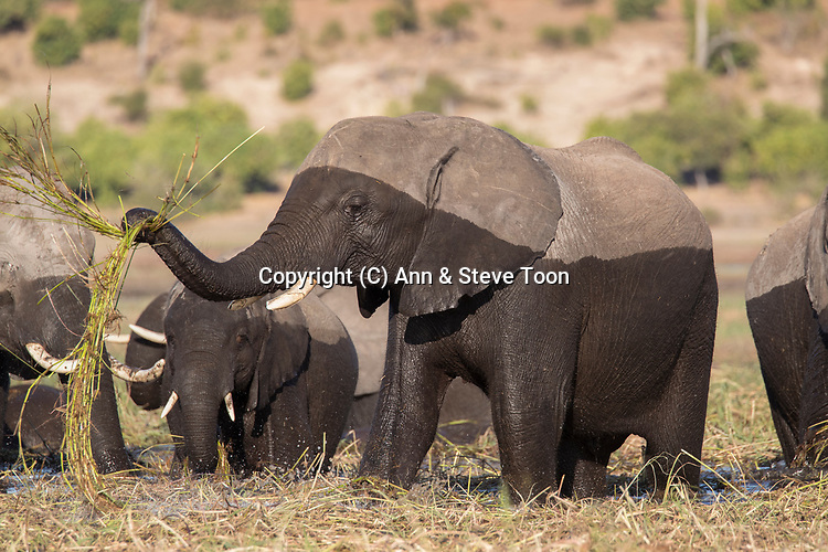 Elephant (Loxodonta africana) feeding, Chobe national park, Botswana, June 2017