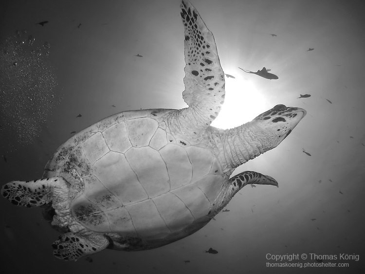 Blue Corner, Palau -- Sea turtle against the sun.