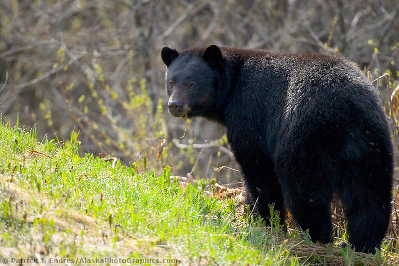 Black bear in the fresh spring grass, British Columbia, Canada
