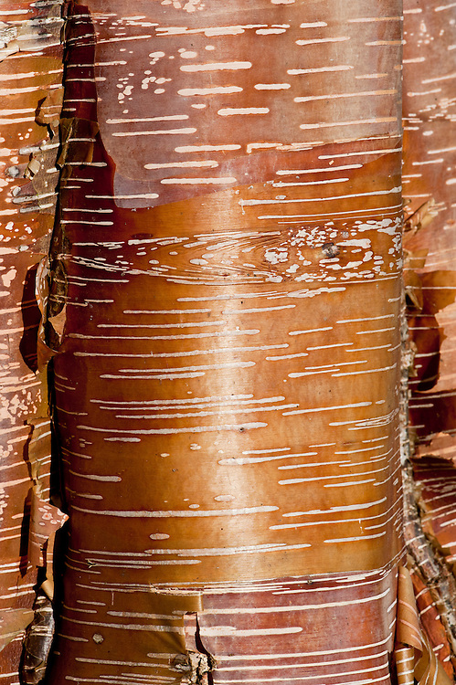 The trunk of a Chinese red birch (Betula albosinensis 'Red Panda').