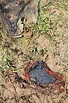 © Remi OCHLIK/IP3, Between Kiwanja and Vingubi , Republique Democratique du Congo, le 26 novembre 2008 - A skeletton leg of dead body in the bush