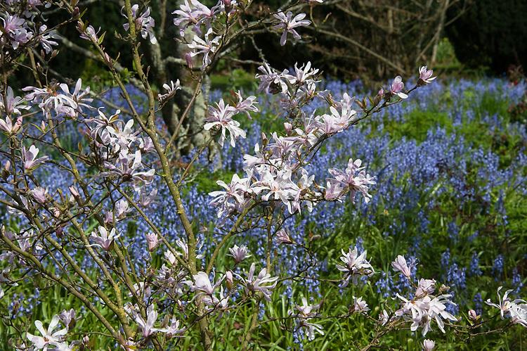 Magnolia stellata and bluebells, Hinton Ampner, Hampshire, late April.