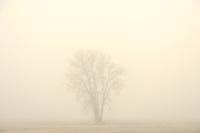 Cottonwood in fog<br /> DUgald<br /> Manitoba<br /> Canada