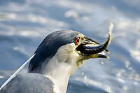 Black-crowned night heron (`auku`u in Hawaiian; Nycticorax nycticorax) eating a fish at Kawainui Marsh, on the island of Oahu.  This bird is indigenous to Hawaii, but is also found in parts of North and South America.