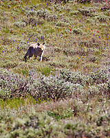 A coyote roams the grasslands of Grand Teton National Park in search of dinner.